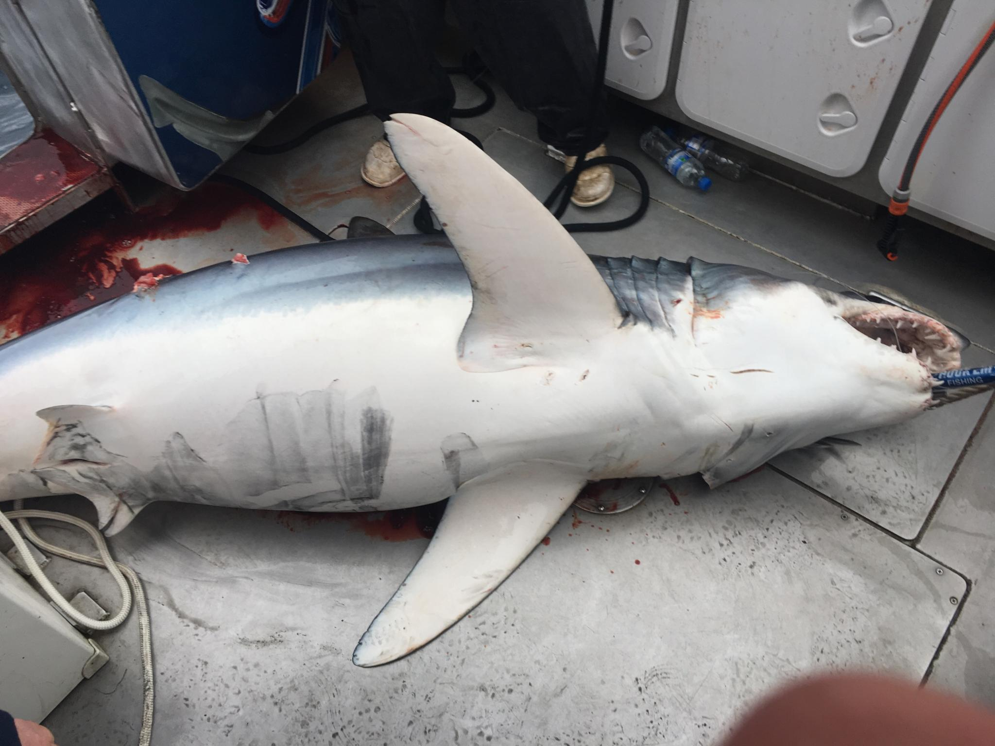 Mako Sharks in Victoria